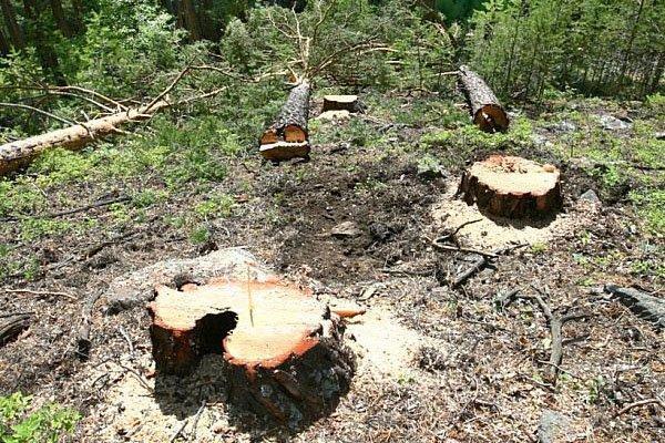 Китай присоединится к борьбе с «черными лесорубами»