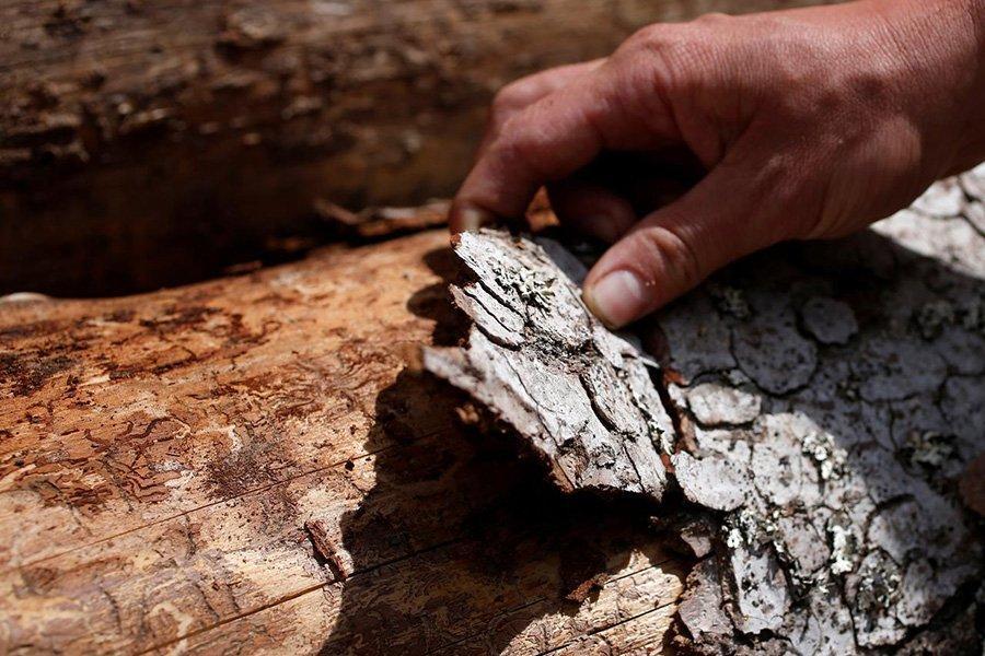 Французские леса серьезно  поражены жуками-короедами
