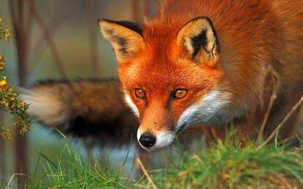 Read more about the article Житомирській області відстріляють сотні лисиць, щоб перевірити ефективність вакцини від сказу