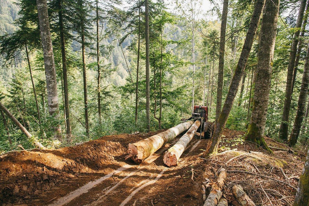 В Приморье введут запрет на заготовку особо ценных пород леса