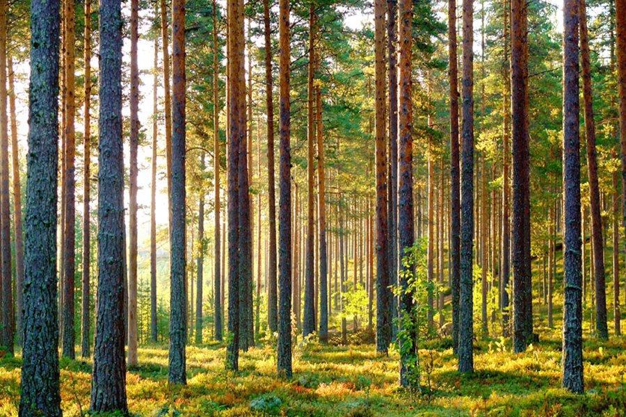 Stora Enso создаст отдельное подразделение для учета лесных активов