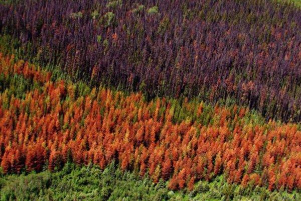 Вспышка заражения лесов короедами — отчет из стран Балтии