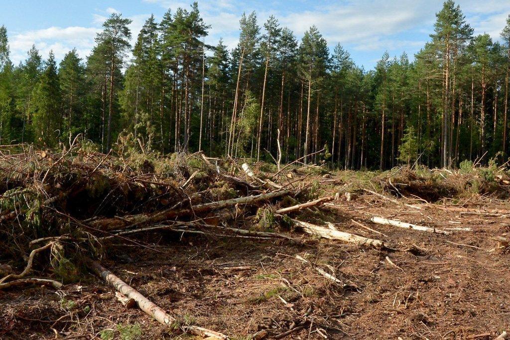 А. Василюк: «Закон о запрете вырубке леса выгоден для лесхозов»