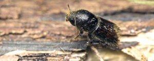 Масштабное короедное усыхание лесов  жуков в Европе влияет на мировой рынок древесины