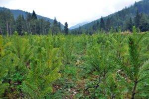SweTree Technologies организует опытное производство лесных деревьев на севере Швеции