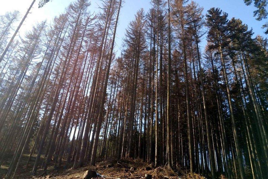 Чешская Республика: ураганы и короеды приведут к рекордной заготовке леса в этом году; цены на древесину на историческом минимуме