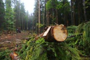 В Украине объемы незаконной вырубки леса возросли в семь раз — Гослесагентство