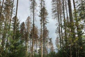 Первые признаки нашествия короедов в Европе, так как продолжается сильная засуха