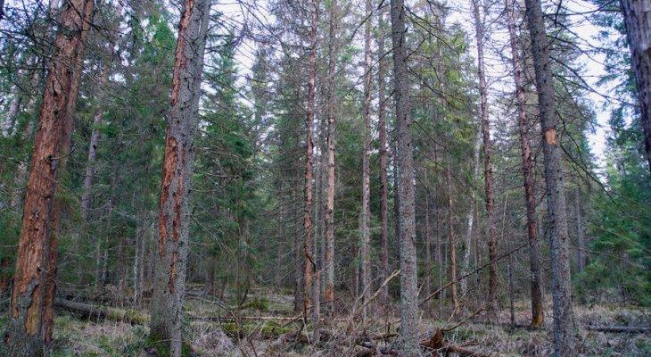 Короед не пройдет: как спасти леса Эстонии?