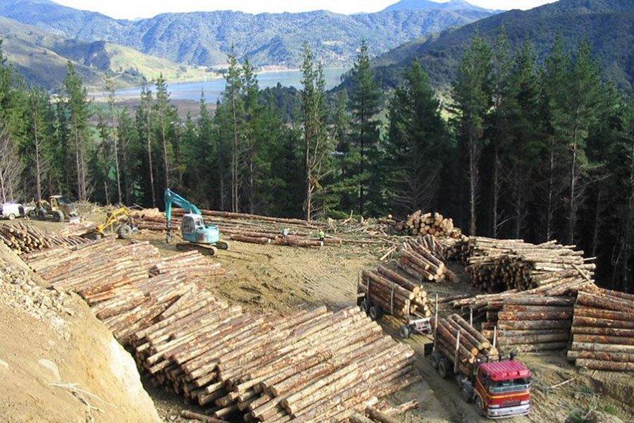 В марте цены на бревна сосны лучистой в Новой Зеландии растут в связи с ростом производительности в Китае