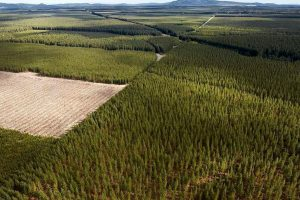 Китайские компании делают более агрессивные закупки древесины за рубежом для обеспечения внутренних поставок
