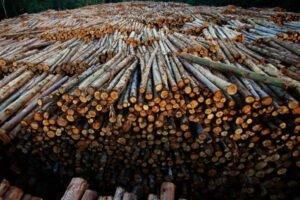 Дешевые бревна, поврежденные короедом, делают Германию вторым поставщиком бревен в Китай