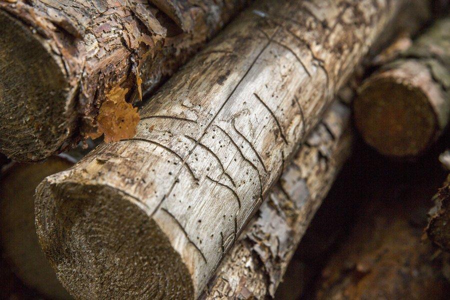 Ненасытные жуки атакуют сосняки. Как с проблемой справляются лесхозы Минщины