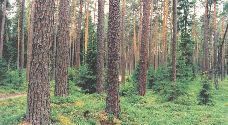 Государственный лес – актив, обеспечивавший эстонскую крону?