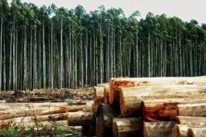 Ввоз эвкалиптового круглого леса практически утроился