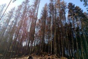 Чехия: вырубка поврежденной древесины выросла на 74%