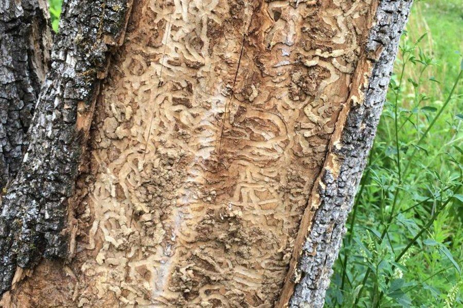 Можно ли повторно использовать древесину, зараженную изумрудным золотоотвалом?