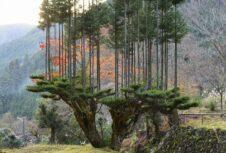 Эта древняя технология лесоводства помогает выращивать большее количество лесоматериалов в воздухе
