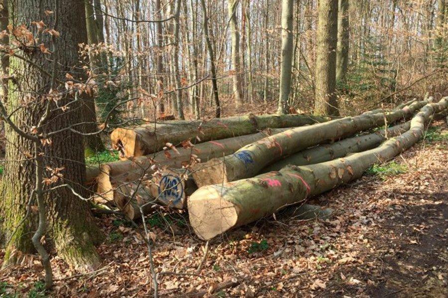 Предприятия лесного хозяйства хотят меньше вырубать буковый круглый лес, а лесопильные предприятия планируют меньше покупать