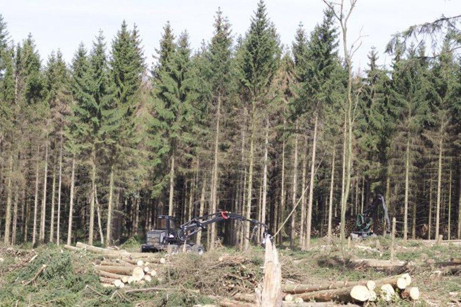 Read more about the article Спрос на поврежденную жуками древесину в настоящее время превышает объемы, вырубленные лесовладельцами