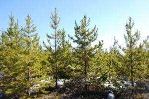 Обновленная информация о лесной сертификации в Канаде от 2021 года