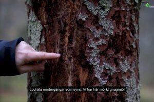 Read more about the article Высокий уровень зараженности еловым короедом в Швеции
