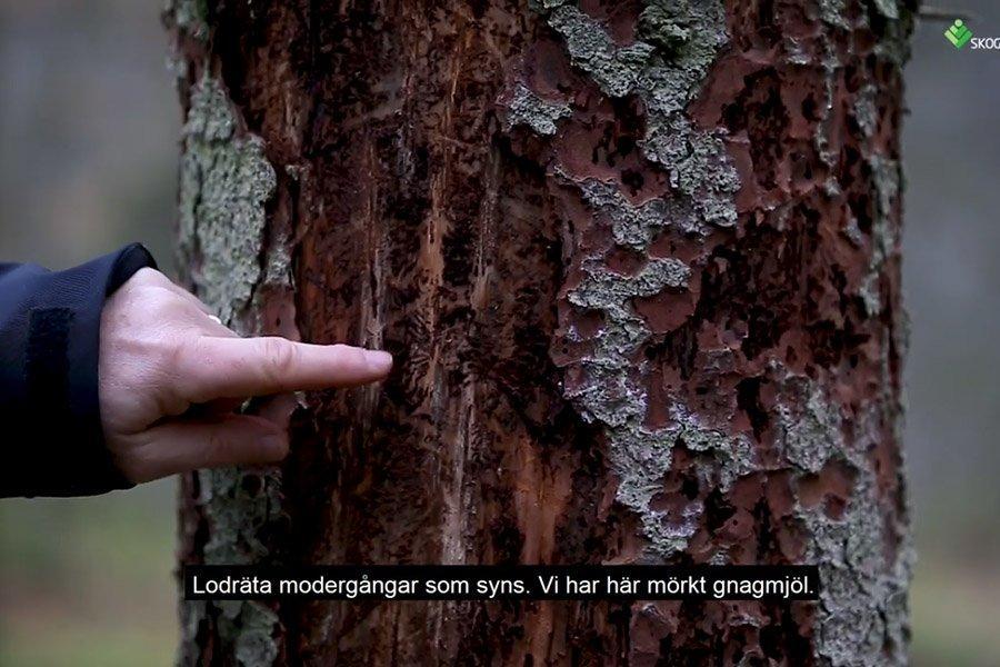 You are currently viewing Высокий уровень зараженности еловым короедом в Швеции