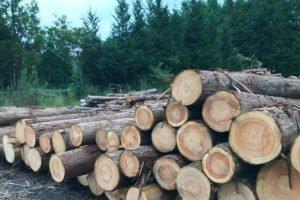 Read more about the article Назад в лес: в Японии больше всего выращенных в домашних условиях деревьев за 48 лет